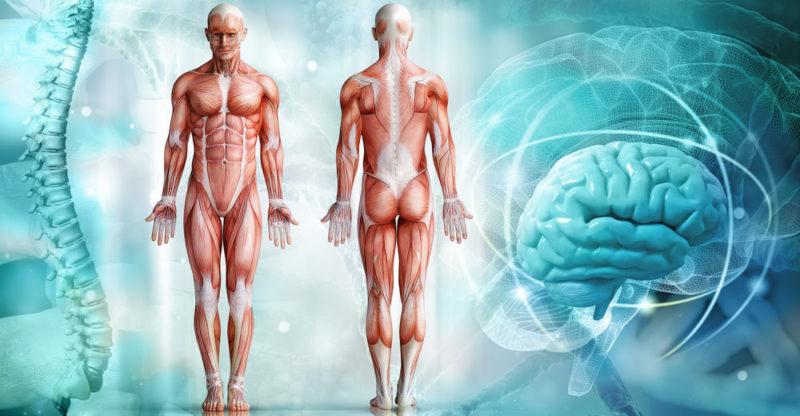 organismo-humano